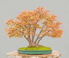 Multi-trunk bonsai