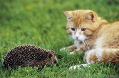 katze Hauskatze mit Igel Säugetier haustier auf Wise spielend Tier