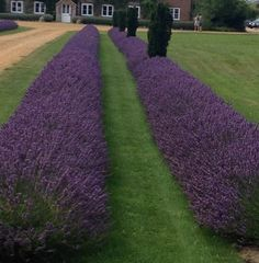 The Two Best Lavenders for Hedging