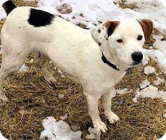 GREAT MATCH Conway, NH - Labrador Retriever/Pointer Mix. Meet Cooper, a dog for adoption. http://www.adoptapet.com/pet/17863481-conway-new-hampshire-labrador-retriever-mix