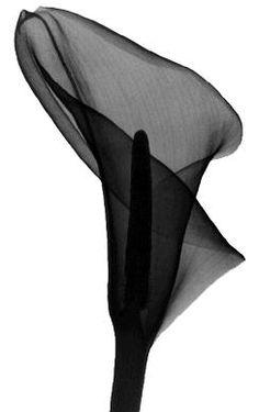 The Secret Garden -- Calla---radiographs of flowers