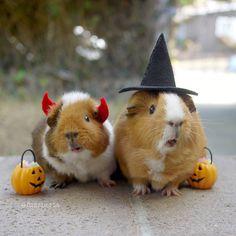 guinea pig credit: fuzzberta