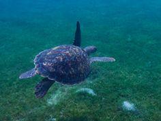 Nager avec les tortues Aux Anses d'Arlet (Martinique) - Visa Photos