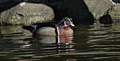 Male Wood Duck by Jewels Johnson on Capture Wisconsin // My first capture of a wood duck