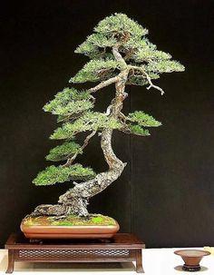 bonsai and ikebana bonsai yaşayan bonsai rock pine bonsai bonsai ...