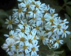 Buy daisy bush Olearia × haastii: Delivery by Crocus.co.uk