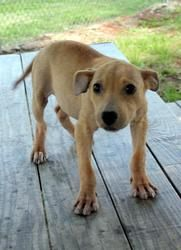 Demi (fota foster) is an adoptable Terrier Dog in Baton Rouge, LA. Meet Demi! She is a 4-5 month old terrier mix puppy. She is potty trained, crate trained, and almost full grown. Demi came into the s...