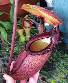 Nepenthes rajah probably my all time favorite plant. #kingofplants #nepenthesrajah #rajah #pitcherplant #plants #botany #botanist #plant #nikon #pitcherplantproject #vscocam #vsco #greenhouse #slowgrowing #rare #colorado #colospgs #coloradosprings #carnivorousplant #sumatra #bbc #nationalgeographic #denver #carnivorousplants #carnivorousplantsofinstagram #plantsofinstagram #icps by jeremiahsplants