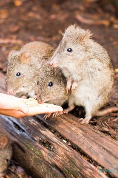 Hand feed the cute potoroos at Cleland Wildlife Park, Adelaide Hills, South Australia