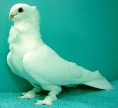 For Fanciers of the Seraphim Pigeon Farm Animals, Animals And Pets, Cute Animals, Unique Animals, Pigeon Pictures, Animal Pictures, City Rats, Tumbler Pigeons, Funky Pigeon