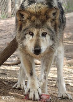 Meet Manilitia The Oldest Mexican Wolf At 18 Years. The USFWS and the Studbook keeper for the Mexican wolves, say Manilita broke the known record of 17 years and 3 months. Manalita was born at the Cheyenne Mountain Zoo in Colorado on May 3, 1997. She was chosen for release into the wild in 2000, but she and her mate got into trouble with dogs. She lives with George, her long time mate at the Southwest Wildlife Conservation Center.  (Photo: Southwest Wildlife Conservation Center)