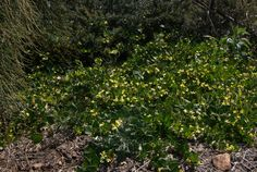 Goodenia ovata prostrate form - Gold Cover up to 1metre high, Edna Walling Cover-up to 50cm.  Fast growing; responds well to hard pruning.  Adaptable and tough.
