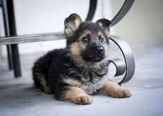 I Love German Shepards!