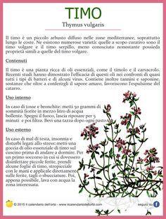 Timo (Thymus vulgaris)