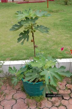 Pokok tin Reky usia 9 bulan sudah besar dan buah mulai matang