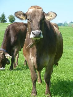 Swiss cow!