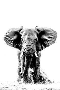 Elephant Tattoos, Elephant Art, African Elephant, Elephant Pictures, Elephants Photos, Elephant Photography, Animal Photography, Elefante Tattoo, Elephant Black And White
