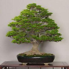 Shishigashira (Japanese Maple), photo by the Omiya Bonsai Art Museum. #bonsai #盆景 #盆栽 #분재 #bonsaitree