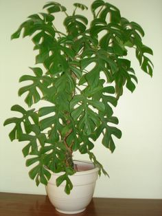 Rhaphidophora tetrasperma - Very similar to monstera deliciosa, almost a mini version