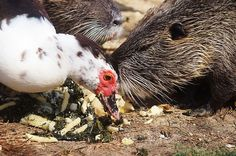 File:Oche e nutrie nel parco di Serravalle, Empoli, Toscana, Italia 09.jpg