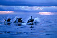 orcaadventure-14 by Amos Nachoum | Flickr - Photo Sharing!