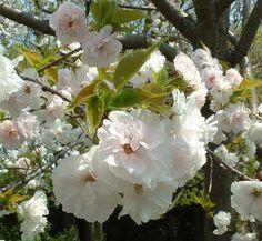 Prunus serrulata 'Mt. Fuji' 1 flower Horizontal growth habit