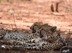 The First Cheetah of Lapalala Wilderness - Tintswalo Lapalala Cheetahs, Big News, The One, Wilderness, Into The Wild, Cheetah