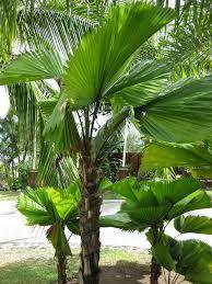 Licuala grandis for courtyard