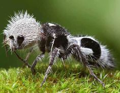 """Panda ant - Euspinolia militaris    This """"ant"""" is actually a wingless wasp from Chile and Argentina.    Euspinolia militaris are black and white ants known as panda ants due to their hair coloration resembling that of the Chinese giant panda. Their bright colours serve as aposematic signals. They are known for their extremely painful stings, hence the common name cow killer or cow ant. Unlike a real ant, they do not have drones, workers, and queens."""