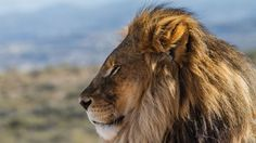 Our Mozambique experts can tailor-make your perfect trip, from some of the most idyllic islands on the African coast to a pocket of safari destinations South Africa Holidays, South Africa Safari, African Sunset, Male Lion, Lion Pictures, Kruger National Park, Great White Shark, Leopards, Big Cats