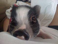 My mini micro pig Penelope
