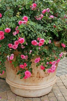 Garden and Home | Growing roses in containers