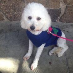 Snowy Bichon Frise - Poodle Dog | Palo Alto CA