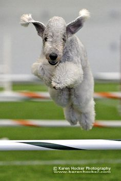 Bedlington terrier is better than Border collie on agility because is quick and agile!