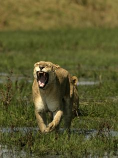 An African lioness, Panthera leo, running through a wetland.  Location:	Okavango Delta, Botswana.  Photographer:	BEVERLY JOUBERT/  National Geographic Stock