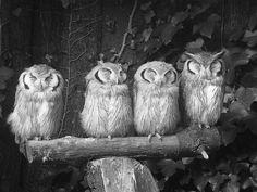 owls   blessed wild apple girl