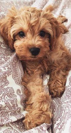 Dog And Puppies Small .Dog And Puppies Small Cute Little Puppies, Cute Little Animals, Cute Dogs And Puppies, Cute Funny Animals, Baby Dogs, Cutest Dogs, Cavapoo Puppies, Goldendoodles, Labradoodles