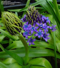 PlantFiles Pictures: Portuguese Squill, Caribbean Lily, Cuban Lily, Giant Squill, Hyacinth of Peru (Oncostema peruviana) by palmbob