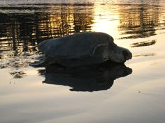 Take a tour to see Sea Turtles nesting along hundreds of kilometers of beaches.  Sunrise reflected on the water behind and Olive Ridley on  Playa Ostional
