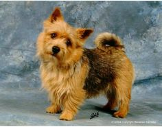 The Norwich Terrier was bred in 19th-century Britain for killing rats. Like many terriers, the Norwich is self-important & suspicious of strangers, but it is easier to train than many of them & gets along well with older children. It is comfortable in an urban space, handles cold well, and requires little grooming.