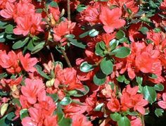Stewartstonian is one type of azalea I grow. As you can see from the picture, it has red flowers. It also has evergreen leaves that afford your landscaping good fall color. Find out more here: http://landscaping.about.com/od/shrubsbushes/fl/Stewartstonian-Azalea-Shrubs.htm