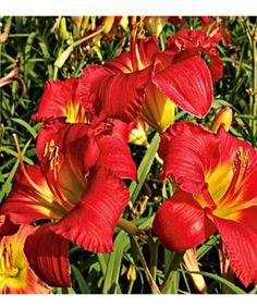 Day Lily Earlybird Cardinal