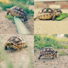 My baby African Sulcata tortoises | Alexis Ziemski photography