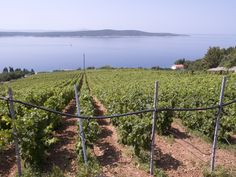 Hvar's vineyards get the most sun in the Adriatic, and have the best view!