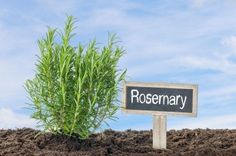 How to grow drought hardy herbs and which culinary herbs resist drought? Read on to learn more.