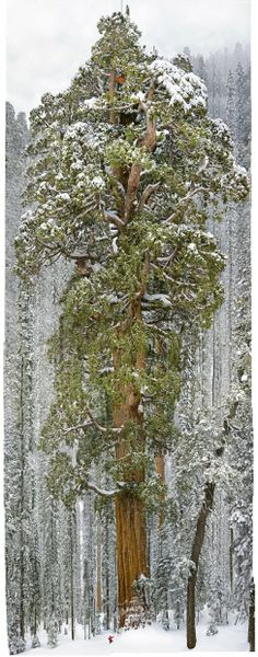 The General Sherman is the largest tree, standing 275 feet in the Sequoia National Park. >> Michael Nichols/National Geographic sierra nevada, the scientist, national geographic, california, snow, natur, trees, national parks, 3200 year