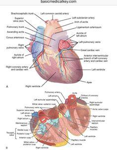 Subclavian Artery, Carotid Artery, Med School, Anatomy, Medicine, Heart, Medical, Medical School, Hearts