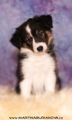 www.martinaburianova.cz Dogs - border collie puppy