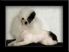 I am so a poodle lover. As a hairstylist can't you see me doing this to my dog! LOL j/j