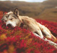 Hi,Im Lolo The Grey Wolf